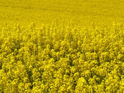 120508_landschaften_raps_go-090_400pix.jpg