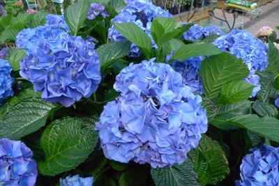Blaue Hortensie Rosadoras Kunstgarten