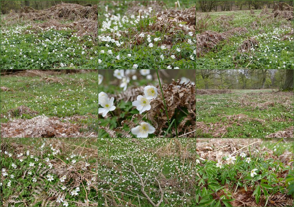 URWALD_anemonenparadies_29.042