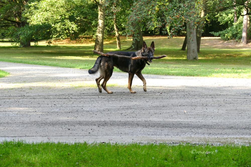 AUE_HUNDE RÄUMEN AUF_SCHÄFERH._P1570771